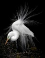 Harry Kaulfersch - Great Egret