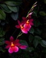 Susan Bestul - Red Cambria Orchid